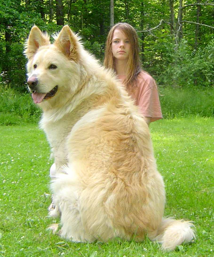 Long Haired White German Shepherd Google Search White German