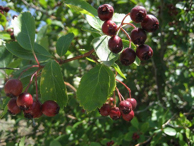 Service Berry Amelanchier Alnifolia Amelanchier
