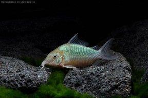 Corydoras Splendens Emerald Brochis Brochis Splendens Brochis Dipterus Seriously Fish Cory Catfish Fish Pet Catfish