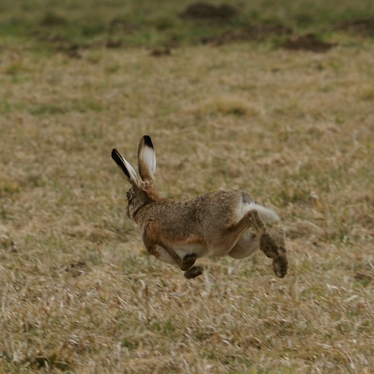 hare-running-away-flying-jumping-fast-wildfowl.jpg ...