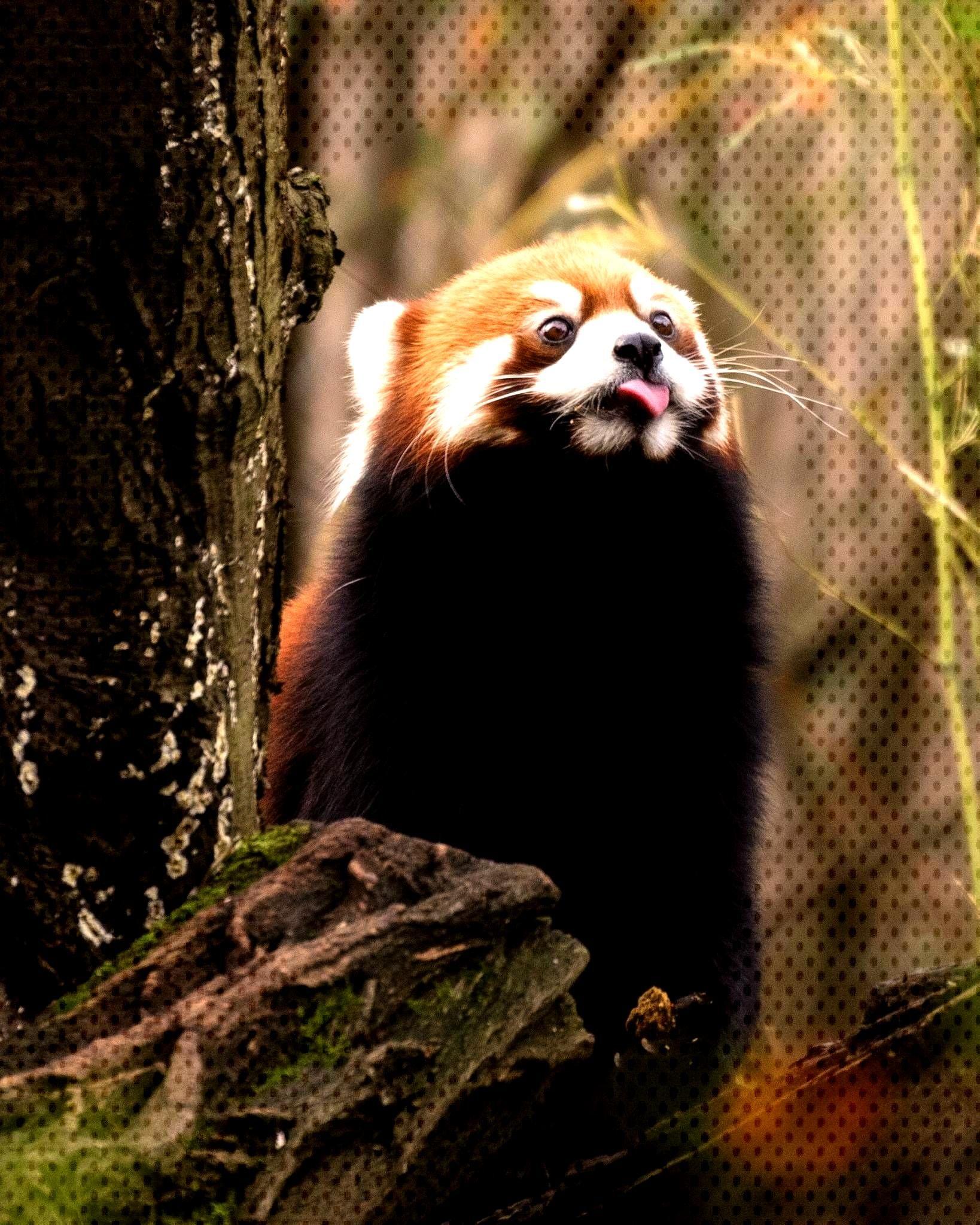 Animals Zoo Zoo Animalszoo Animalszoo Animals Panda Bear Red Panda Panda