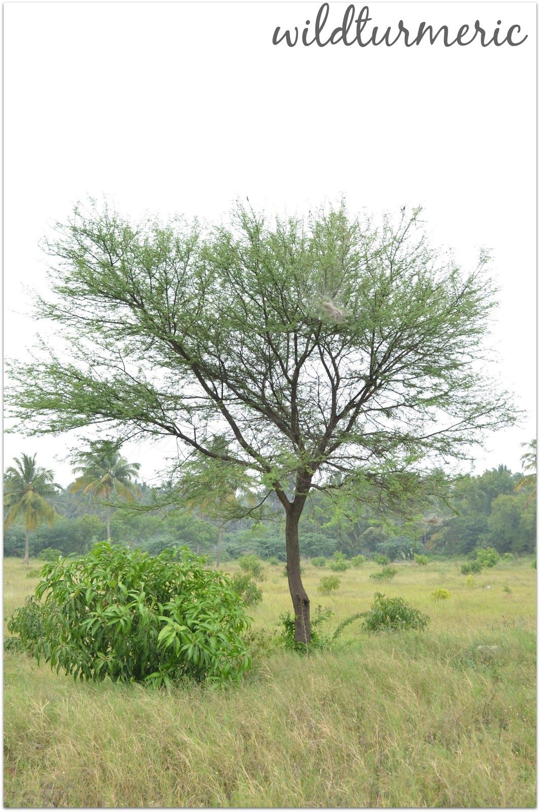 5 Top Medicinal Uses Of Babool Babul Tree Health Remedieswild