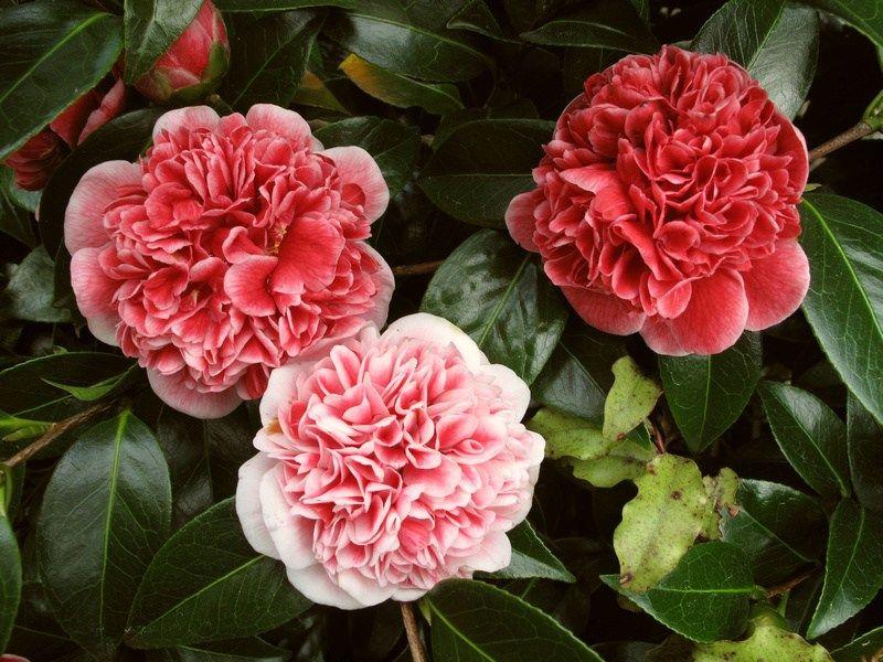 Jury Camellia Varieties Nz Camellia Flowers Japonica