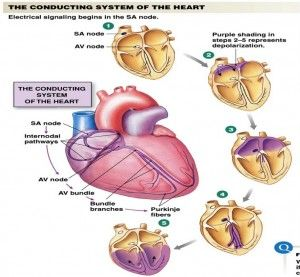 Blank Diagram Of The Electro Conduction System Of The Heart