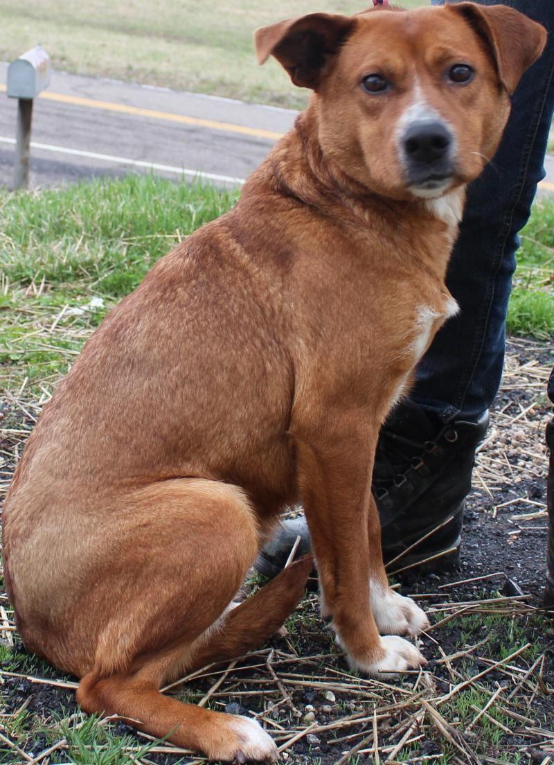 Meet Trixie A Petfinder Adoptable Labrador Retriever Dog