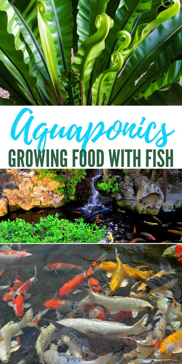 aquaponics growing food with fish