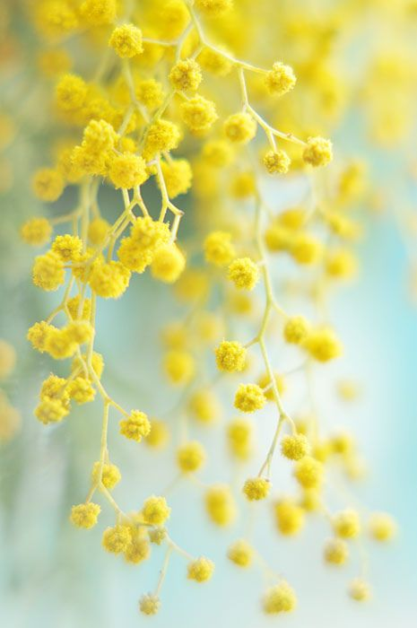 Acacia Dealbata By Alexedg Yellow Aesthetic Pastel Yellow Aesthetic Mimosa Flower