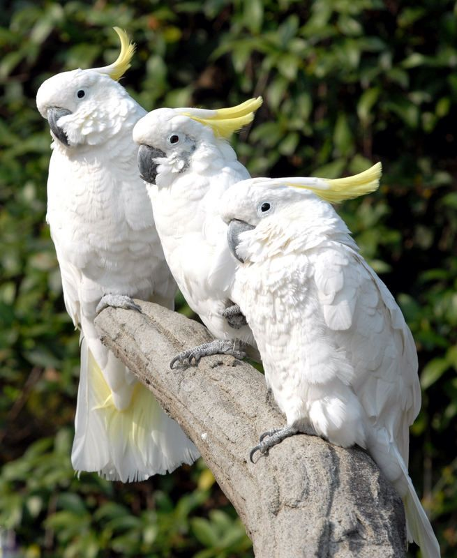 Sulphur crested Cockatoos - titled i tre AMIGOS (3 FRIENDS) - by ...