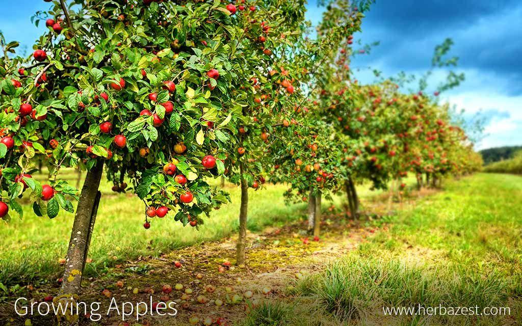 Biting into a fresh, crisp, homegrown apple can be ...