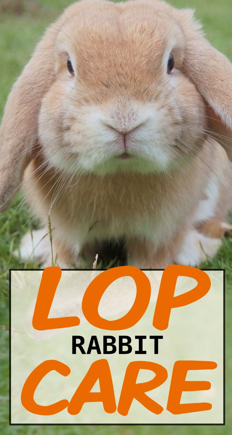 How To Care For Your Lop Eared Rabbit In 2020 Rabbit Care Rabbit Mini Lop Rabbit