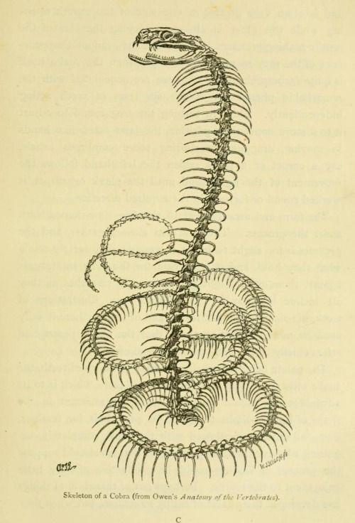 King Cobra Skeleton, from Owen\'s Anatomy of the Vertebrates, 1868 ...