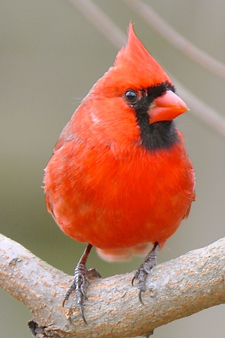 Cardinal Copyright Annette Boose Feel Free To Use For Non Commercial Purposes With Photo Credit To Me Beautiful Birds Photo Credit Birds