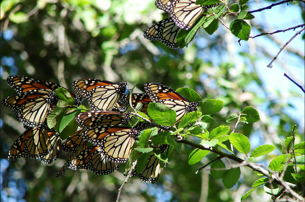 Image result for Monarch butterflies' rapid population decline can lead to extinction in the coming decades, study says