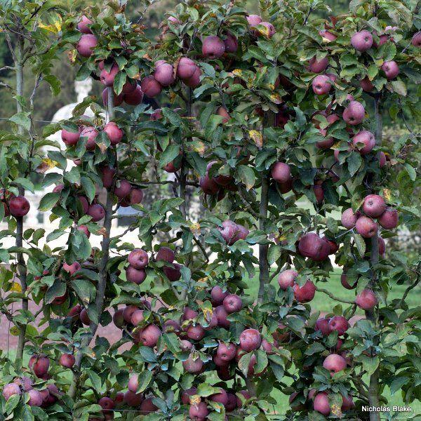 Frutti A Spalliera Melo Giardinaggio Orto Vivaio
