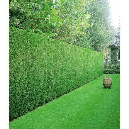 leyland zypressen hecke 1 pflanze gardens and plants. Black Bedroom Furniture Sets. Home Design Ideas
