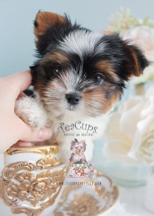 Beautful Parti Yorkie Puppy By Teacupspuppies Com Partiyorkie