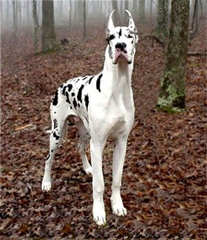 Love Love Love Great Dane Dalmatian Mix With Images