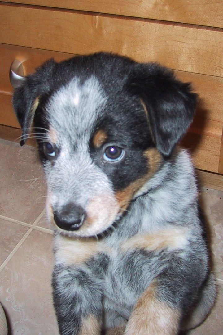 Border Collie Blue Heeler Cross This Is My Future Pup Can T