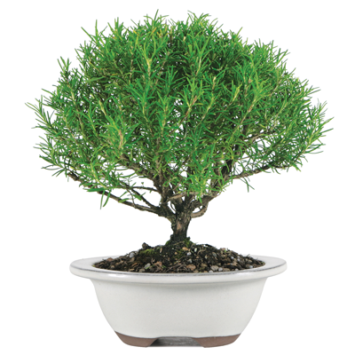 A Bonsai for the Culinary Lover