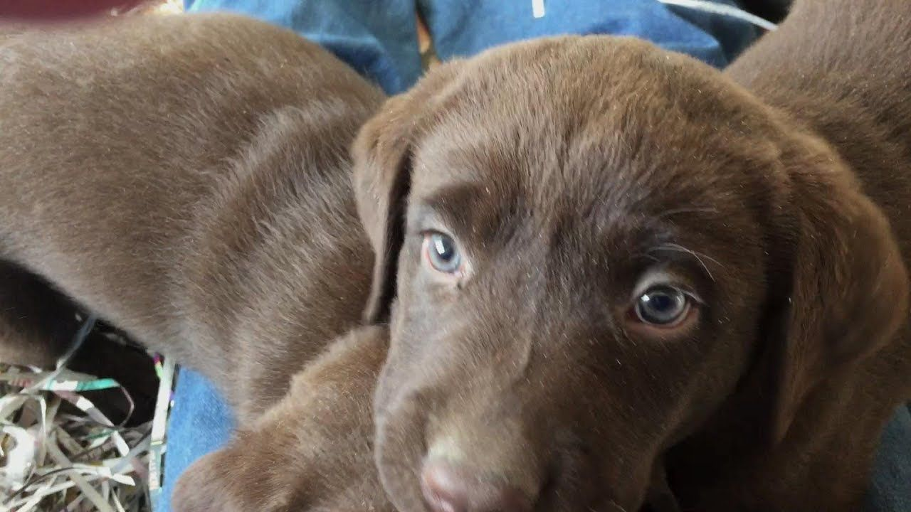 Labrador Retriever Puppies Availablle In Denver Colorado Labrador Retriever Labrador Puppies