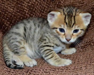 F6 Savannah Cat Queens By Amanukats Beautiful Savannah Kittens
