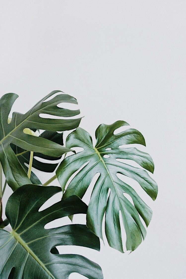 Monstera Plant is a Unique Addition to your Home or Office Available NowPLANTZ -   12 plants Wallpaper leaves ideas