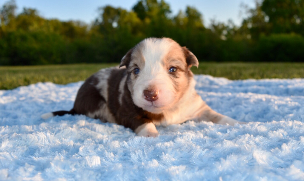 Venti A Red Merle Border Collie Puppy Enjoying Some Time Outside On A Warm Summer Day Puppies Maremma Sheepdog Puppy Collie Puppies