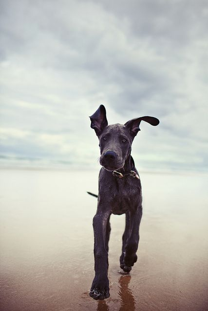 I M Slightly Obsessed With Him Baby Dogs Great Dane Puppy