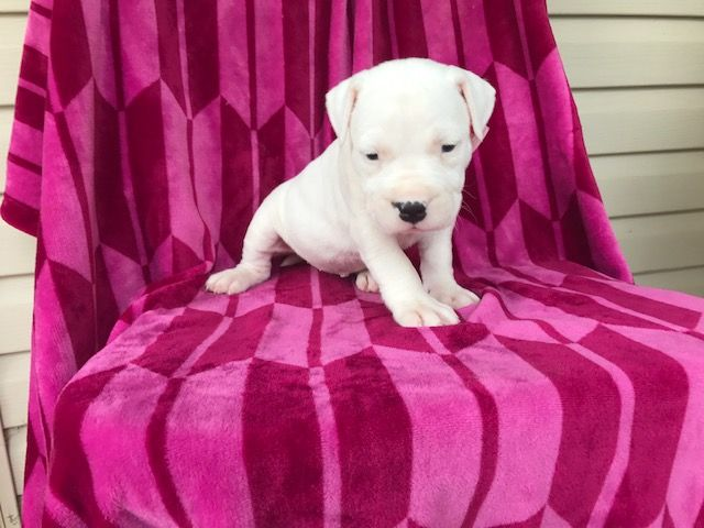 Dogo Argentino Puppy For Sale In Ephrata Pa Adn 40203 On Puppyfinder Com Gender Female Age 6 Weeks Old Puppies For Sale Dogo Argentino Puppies