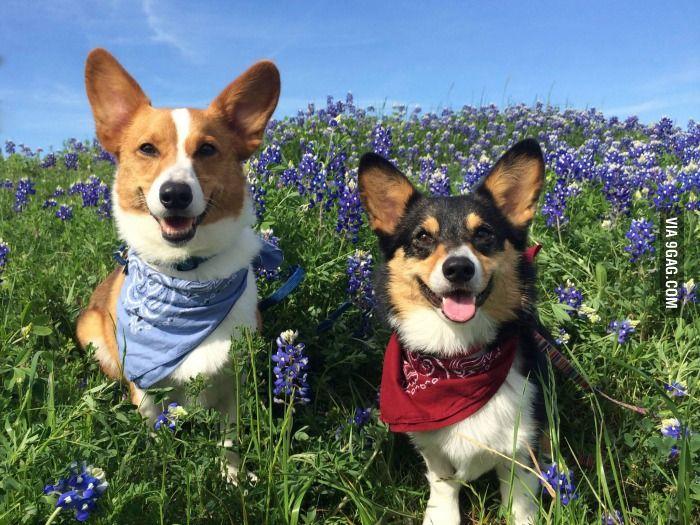 Corgi Springtime In Texas Cute Animals Corgi Animals