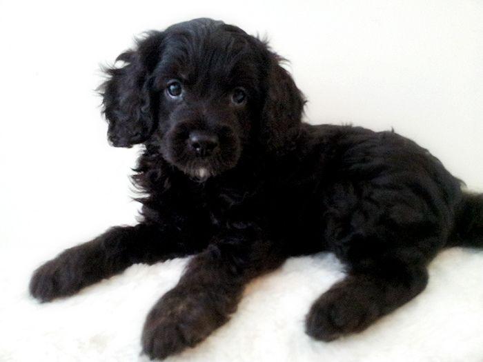 Black Cavoodle Puppy Cavapoo Puppies Puppies Black Puppy