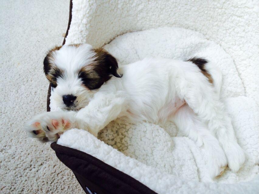 Tibetan Terrier 8 Week Old Puppy Never As Clean Again Tibetan Terrier Terrier Puppies