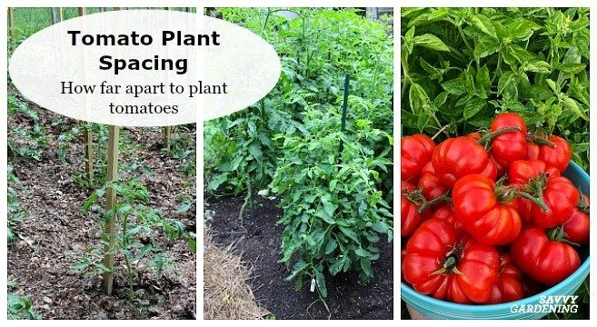 To figure out how far apart to plant tomatoes, you need to know what types of tomatoes you're ...