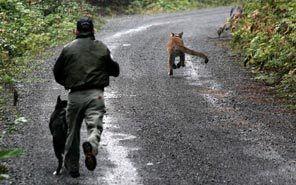 karelian bear dogs - chasing a mountain lion with handler