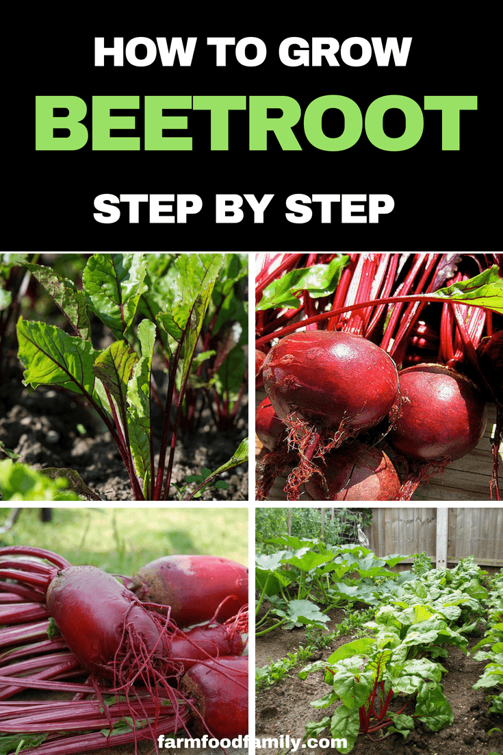 Beetroot Health Benefits And How To Grow Beetroot Step By Step Hydroponic Growing Organic Vegetable Garden Vegetable Garden Tips