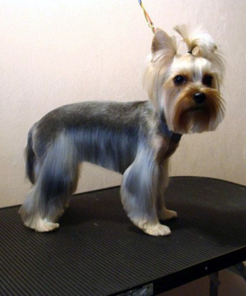 Explore Yorkie Haircuts Pictures And Select The Best Style For Your Pet | Pams | Pinterest ...