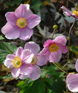 Anemone Hupehensis Praecox Fruhe Herbst Anemone Lady Gilmore