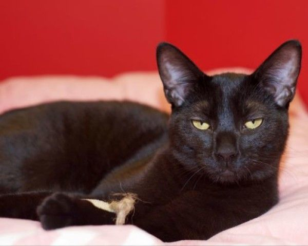 Cat for adoption - Calypso, a domestic short hair breed, in