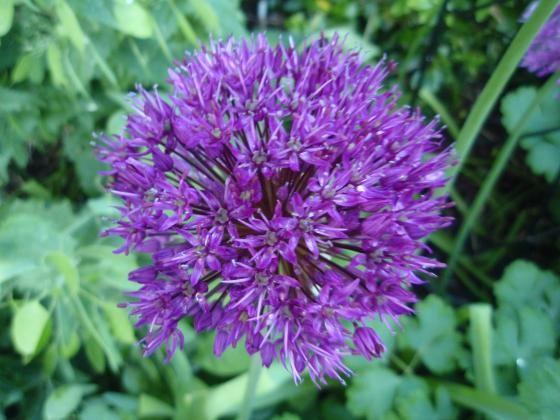 Allium Hollandicum Purple Sensation Allium Purple Sensation Added By Georgie Plants Allium Flowers