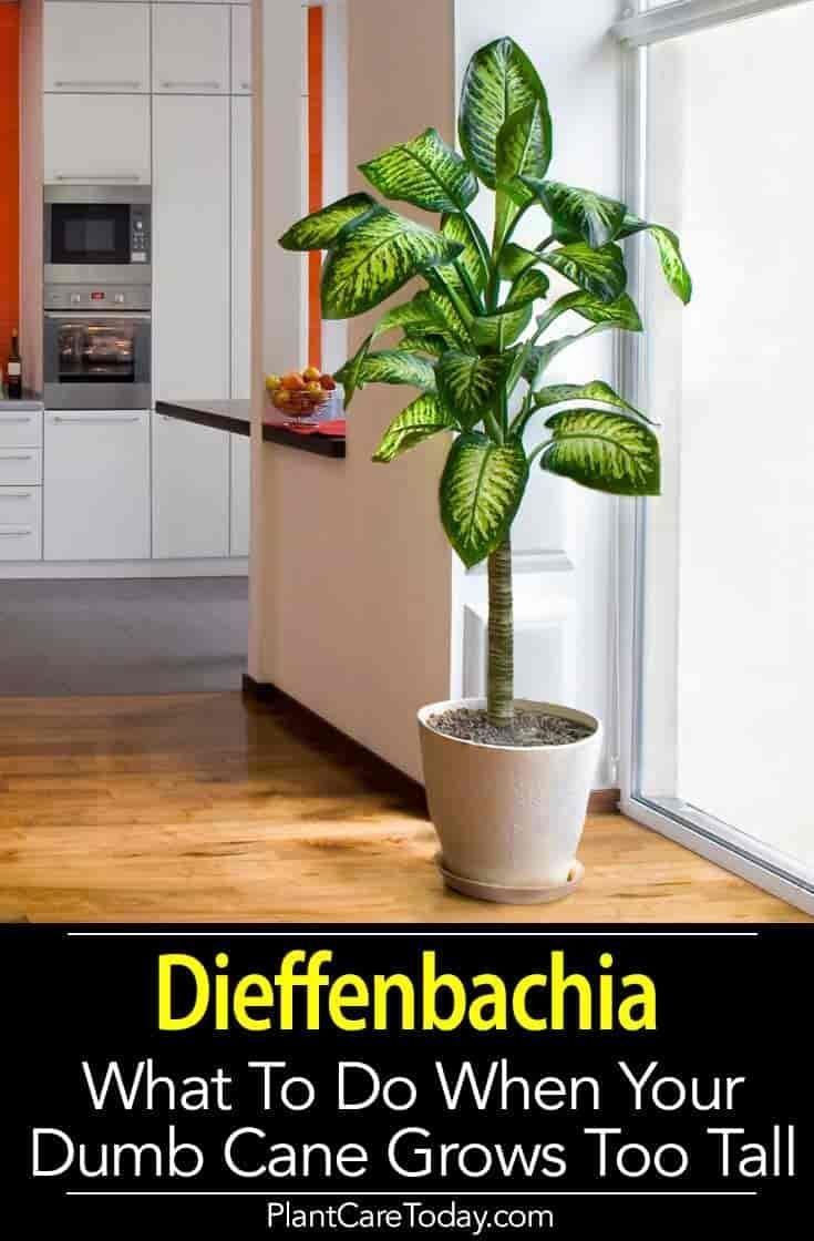 Diefenbachia Care Rules