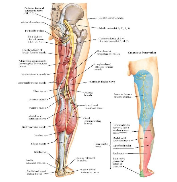 Sciatic Nerve and Posterior Femoral Cutaneous Nerve Anatomy