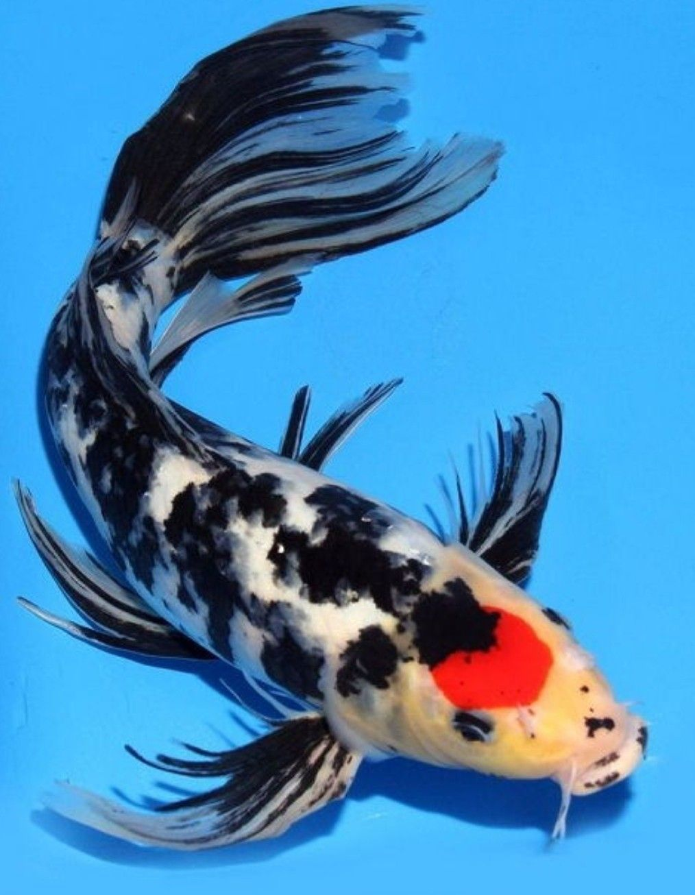 Pin By Red Black On Koi Fish Koi Fish Drawing Black Koi Fish Butterfly Koi