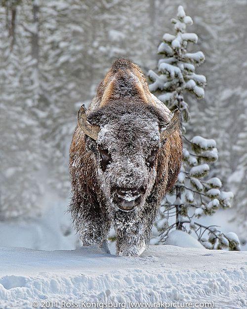 Yellowstone BisonbyRoss Konigsburg  Warrior
