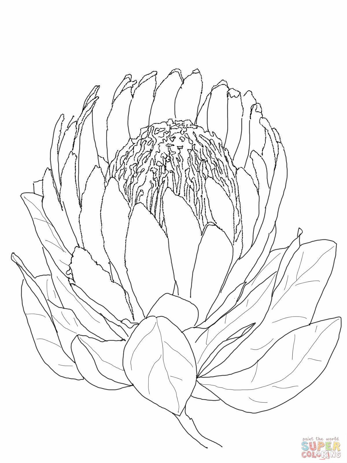protea flower coloring page super coloring pages com jpg 1200