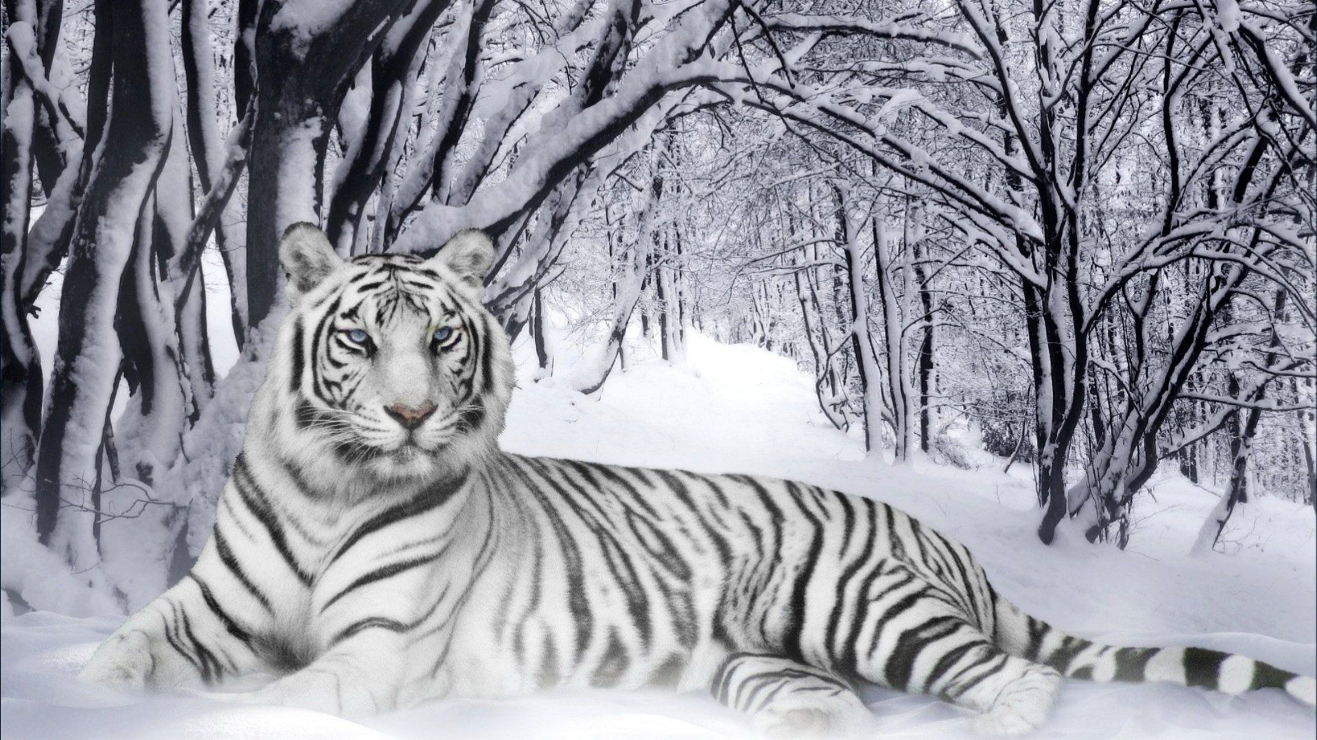 Royal bengal tiger is a great wallpaper for your computer desktop and - D Animated Tiger Wallpapers D Wallpaper Hd