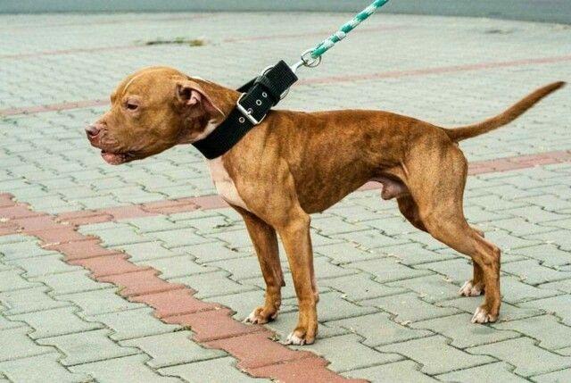 Red Brindle Apbt Pitbull Dog Pitbulls Dogs