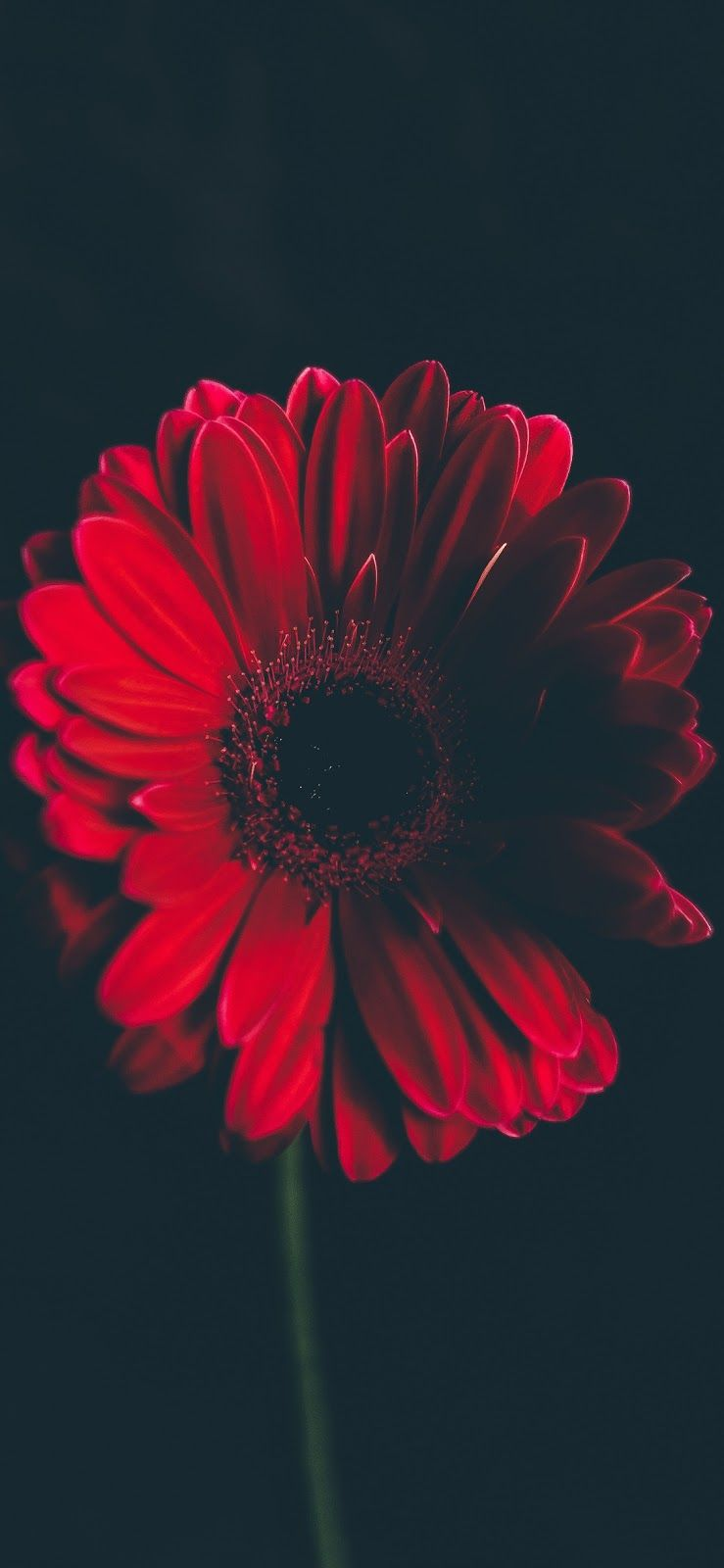 Red Flower Iphone X Red Flower Wallpaper Red Wallpaper