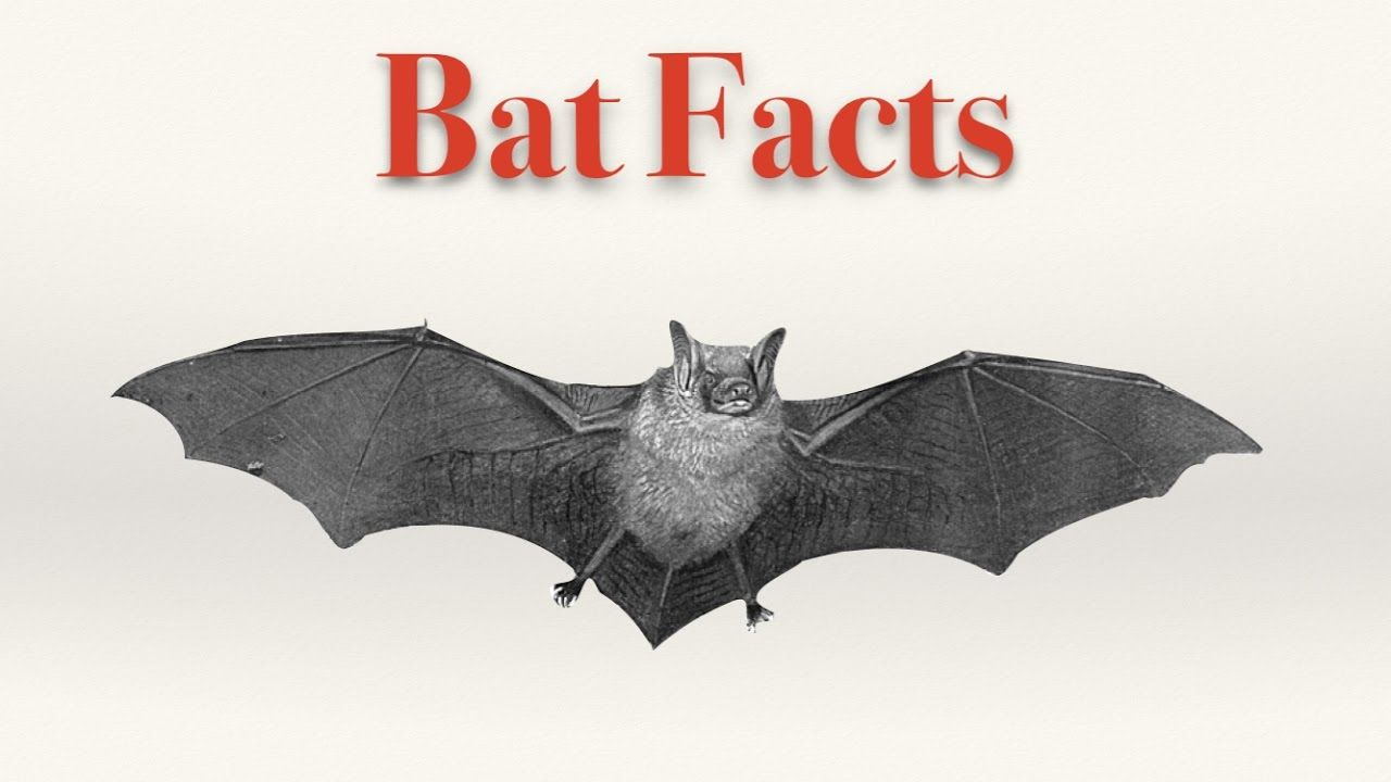 Bat Facts For Kids Youtube Bat Facts Bat Facts For Kids Animal Facts