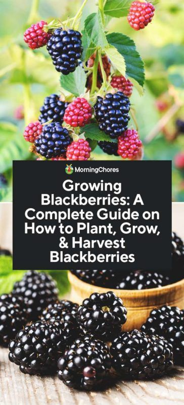 Growing Blackberries A Complete Guide On How To Plant Grow Harvest Blackberries Growing Blackberries Blackberry Plants Berry Plants