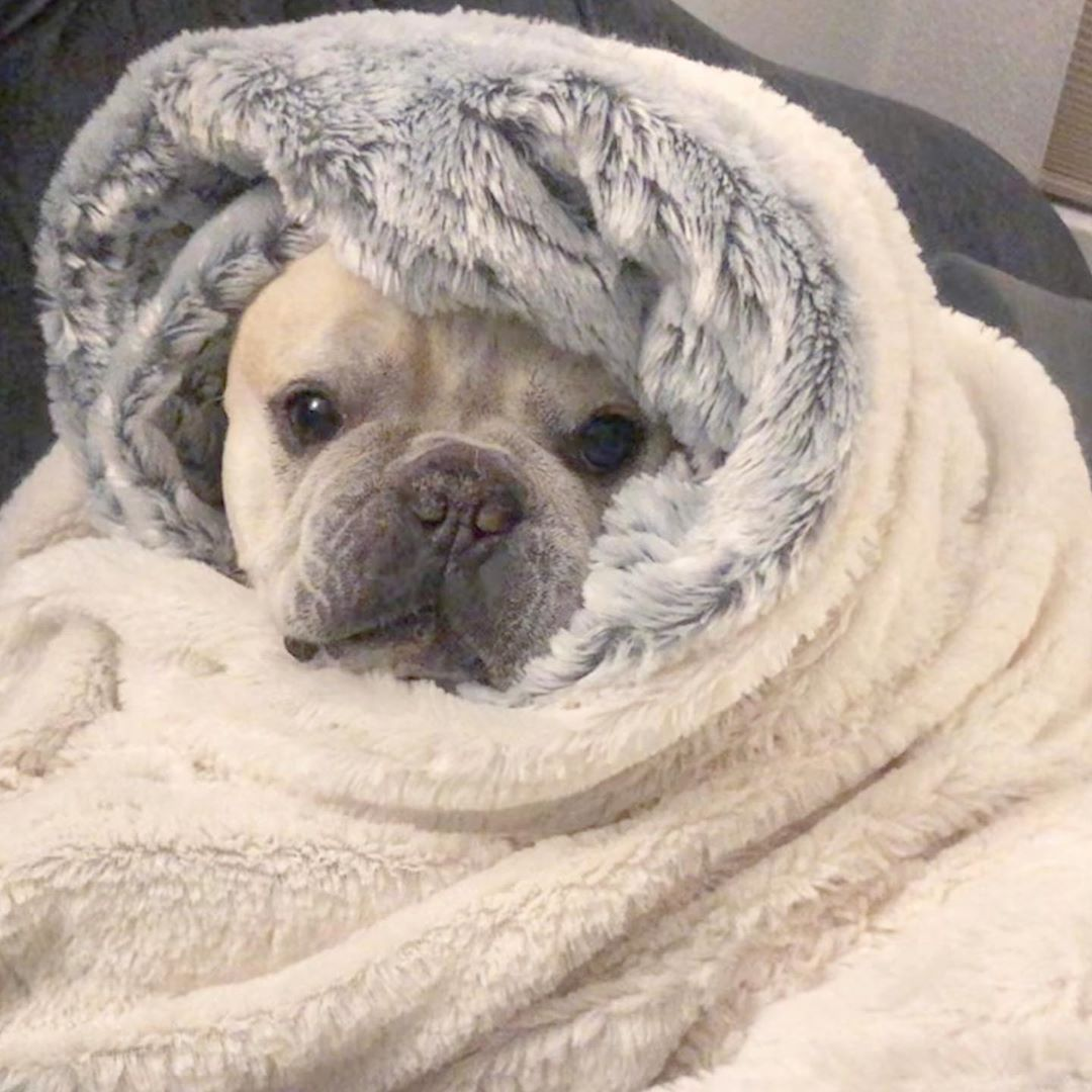 Whenever It Gets Below 72 Hubert French Bulldog Frenchie
